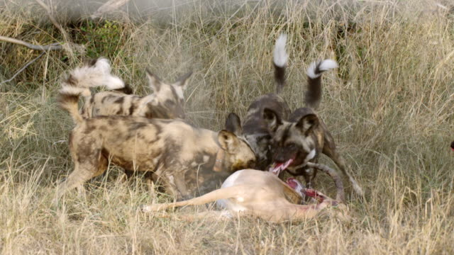 MS Shot of African Wild Dogs eating antelope carcass / Hluhluwe Imfolozi, South Africa