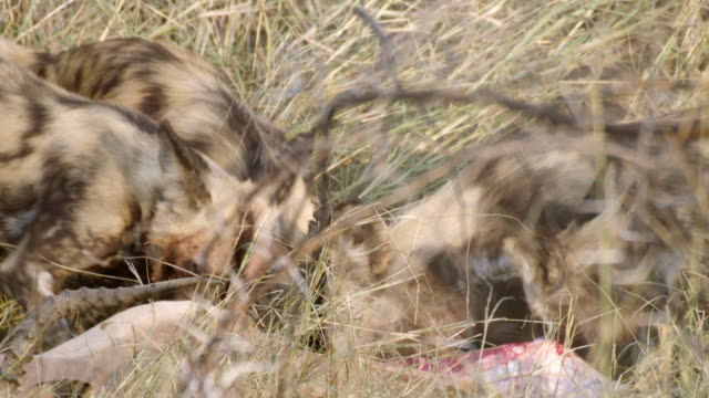ms shot of african wild dogs eating antelope carcass / hluhluwe imfolozi, south africa - hluhluwe stock videos and b-roll footage