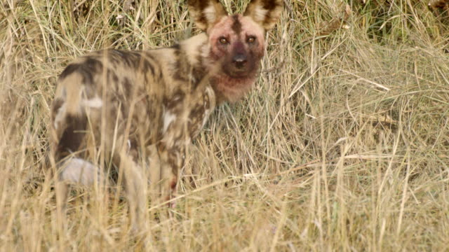 MS PAN Shot of African Wild Dogs eating antelope carcass / Hluhluwe Imfolozi, South Africa