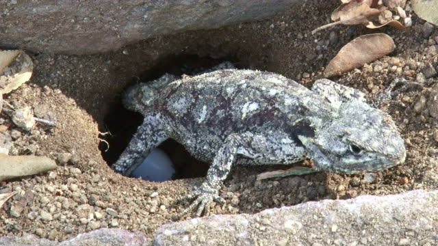 cu shot of agama female laying egg in hole / kruger national park, mpumalanga, south africa - female animal stock videos & royalty-free footage