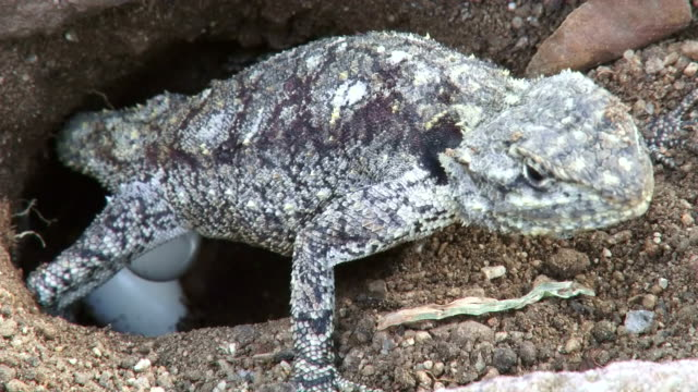 cu shot of agama female laying egg in hole / kruger national park, mpumalanga, south africa - provinz mpumalanga stock-videos und b-roll-filmmaterial