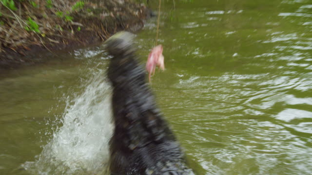 a shot of alligator reaching out for bait - crocodile stock videos & royalty-free footage