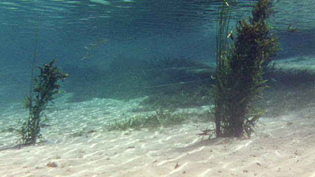 CU Shot of alligator under water