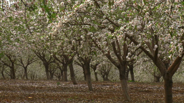 ms shot of almond orchard blooming in spring with white flowers / ma'ale gilboa, gilboa, israel - orchard stock videos and b-roll footage