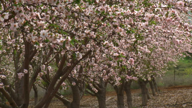 ms shot of almond orchard blooming in spring with white flowers / ma'ale gilboa, gilboa, israel - orchard stock videos & royalty-free footage