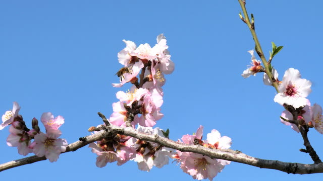 cu shot of almond tree blooming in spring with pink white flowers and bee on flower / jerusalem, judea, israel - bee stock videos & royalty-free footage