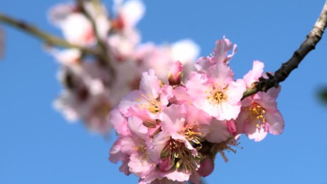 CU Shot of almond tree blooming in spring with pink white flowers / Jerusalem, Judea, Israel