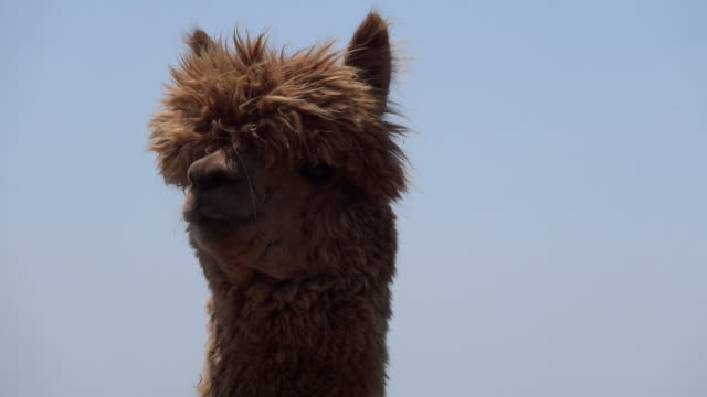 cu shot of alpaca / futtsu, chiba prefecture, japan  - brown stock videos & royalty-free footage