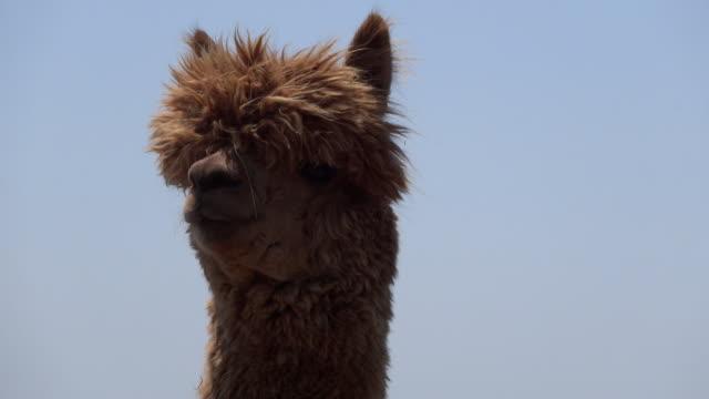 cu shot of alpaca / futtsu, chiba prefecture, japan  - brun beskrivande färg bildbanksvideor och videomaterial från bakom kulisserna