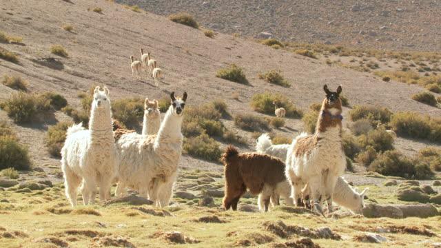 vídeos de stock, filmes e b-roll de ms shot of altiplano puna grassland in andes mountains group of llama / san pedro de atacama, norte grande, chile - lama