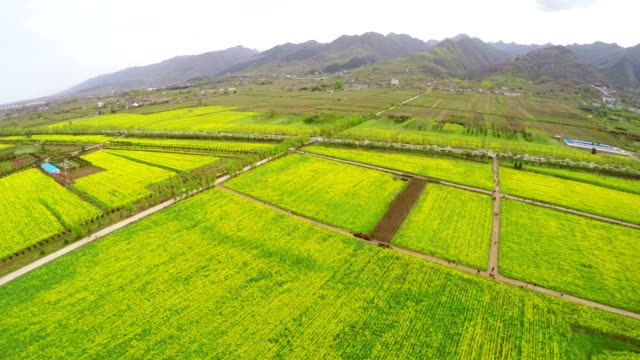 ws aerial shot of amazing rape flower field in rural area , xi'an,shaanxi,china. - oilseed rape stock videos & royalty-free footage