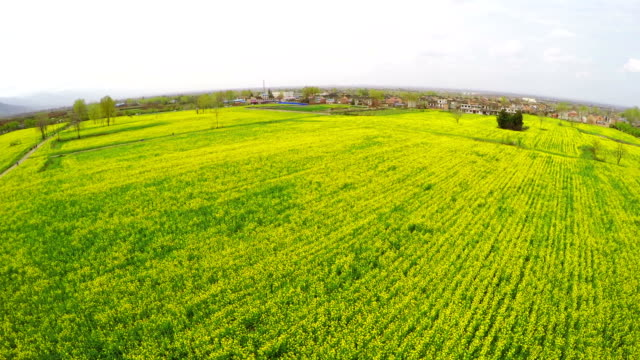 WS AERIAL Shot of amazing rape flower field in rural area , Xi'an,Shaanxi,China.