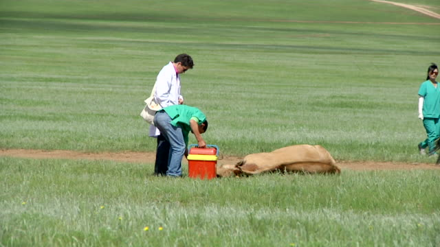 ms shot of ambulance with doctor that are going to take care of hurt horse / ulaan baatar, tuv, mongolia - 横たわる点の映像素材/bロール