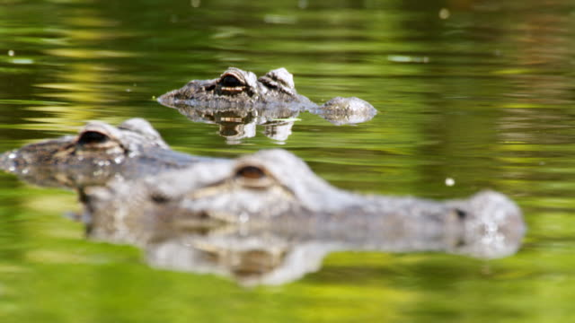 CU R/F Shot of American Alligators sitting in water / Paynes Prairie, Gainsville / Gatorland, Orlando, United Kingdom