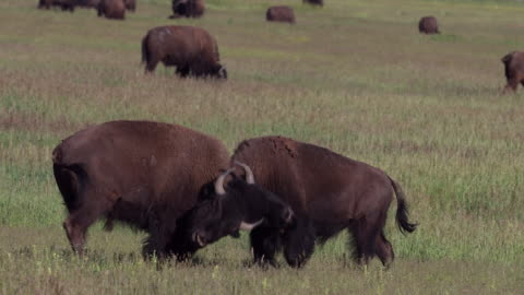 ms 4k shot of american bison (bison bison) bulls fighting during the rut - 美洲野牛 個影片檔及 b 捲影像