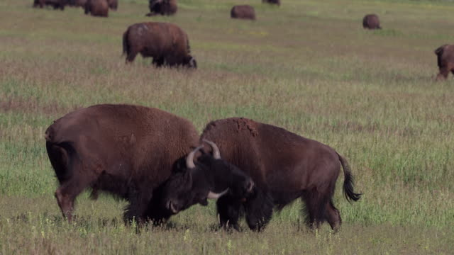 ms 4k shot of american bison (bison bison) bulls fighting during the rut - conflittualità video stock e b–roll