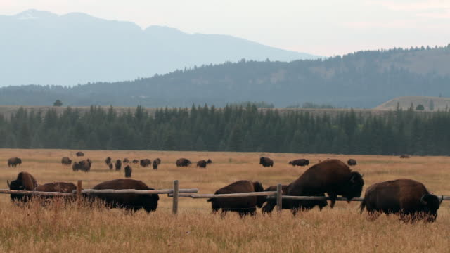 ws  shot of american bison (bison bison) running through a field and jumping over a rail fence - grand teton national park stock videos and b-roll footage