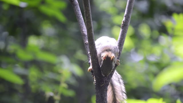 vidéos et rushes de cu shot of american red squirrel eating homemade suet in fork of small tree - tronc d'arbre