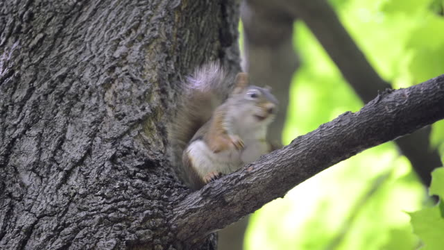 CU LA Shot of American red squirrel eating peanut piece on high perch and then going