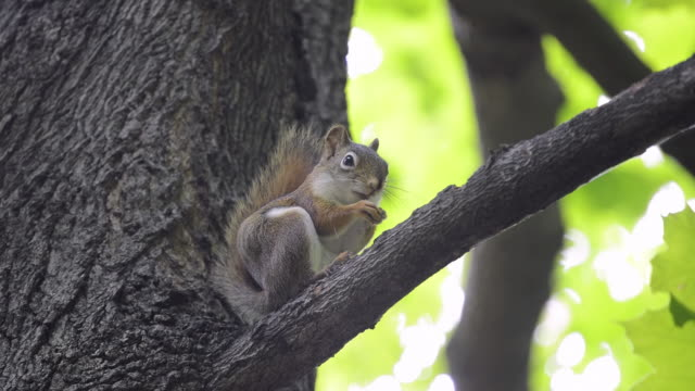 cu la shot of american red squirrel eating peanut piece on high perch - squirrel stock videos and b-roll footage