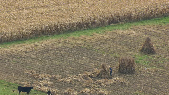 MS DS ZO AERIAL Shot of Amish farmer piles cornstalks in Medina County and landscape / Ohio, United States