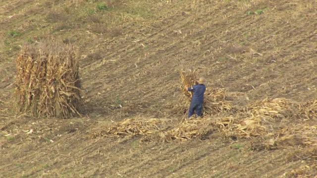 vídeos de stock, filmes e b-roll de ms ds aerial shot of amish farmer piles cornstalks in medina county / ohio, united states - amish