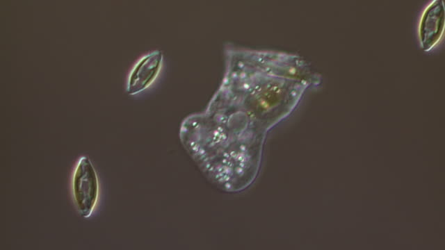 ecu t/l shot of amoeba is unicellular organism with constantly changing shape with moving forwards by sending out pseudopods which help it to crawl along surface and diatoms are also moving / newcastle emlyn, ceredigion, united kingdom - protozoan stock videos and b-roll footage