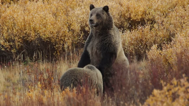 ms  4k  shot of an adult grizzly (ursus arctos) standing in the fall willows and looking toward the camera - wyoming stock videos & royalty-free footage