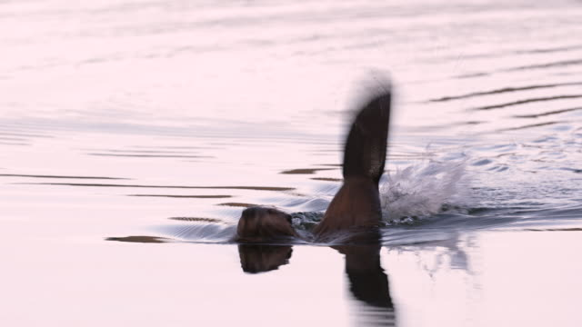 ms  4k shot of an american beaver (castor) slapping her tail for a big splash - beaver stock videos & royalty-free footage