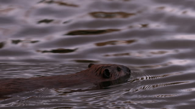 TS  4K shot of an american beaver (Castor) swimming in a pond at sunset