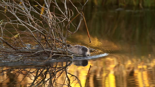 vídeos de stock e filmes b-roll de ms  shot of an american beaver (castor canadensis) swimming upstream with branches in his mouth, with colorful reflection on water - castor roedor