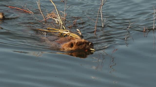 ms/ts  shot of an american beaver (castor canadensis) swimming upstream with branches in his mouth - ビーバー点の映像素材/bロール