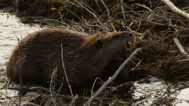 ms ts  shot of an american beaver (castor canadensis) walking over a dam with branches in his mouth - beaver stock videos & royalty-free footage