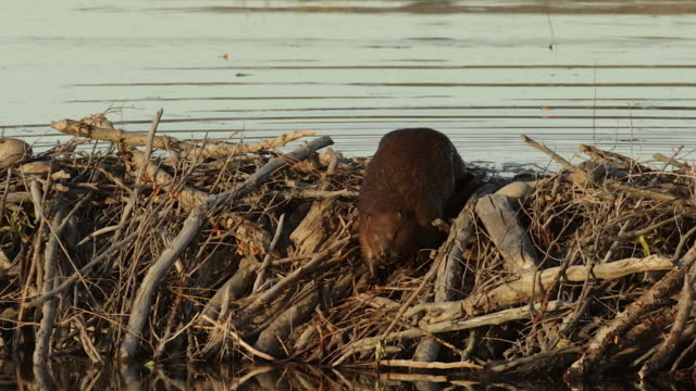 ms  shot of an american beaver (castor canadensis) walking over his dam at dusk - beaver stock videos & royalty-free footage