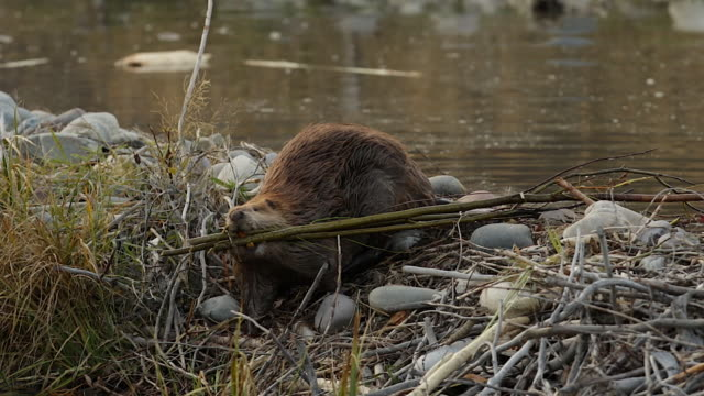 ms shot of an american beaver (castor canadensis) walking over the top of his dam with branches in his mouth - beaver stock videos & royalty-free footage