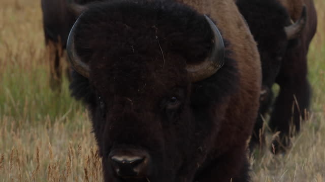 ts  shot of an american bison bull (bison bison) crossing the sage flats into the lens - wyoming stock videos & royalty-free footage