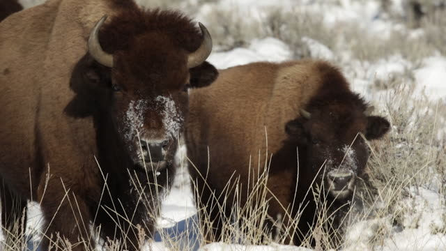 MS/TS  shot of an American bison cow and calf (bison bison) staring at the camera after digging in the snow for food