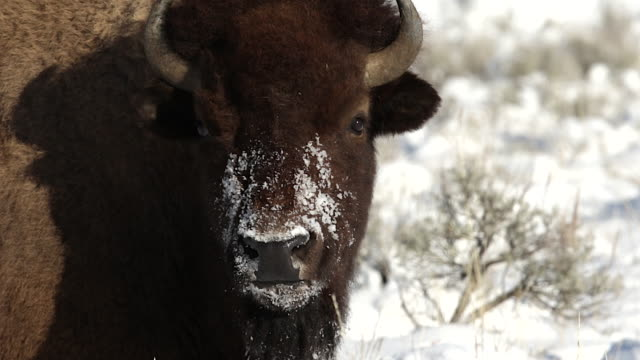 vídeos de stock e filmes b-roll de ts  shot of an american bison cow (bison bison) staring at the camera after digging in the snow for food - bisonte americano