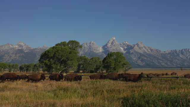 ws  shot of an american bison herd (bison bison) crossing the sage flats and jumping a fence in front of the tetons - fence stock videos & royalty-free footage