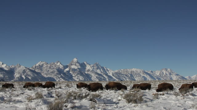 vídeos de stock e filmes b-roll de ws  shot of an american bison herd (bison bison) crossing the sage flats in front of the grand tetons - bisonte americano