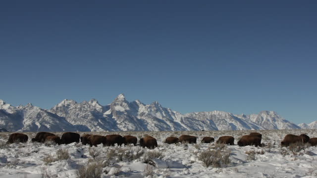 WS  shot of an American bison herd (bison bison) crossing the sage flats in front of the Grand Tetons