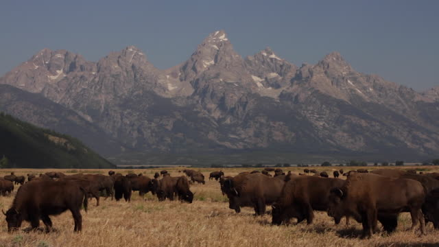WS  shot of an american bison herd (bison bison) crossing the sage flats in front of the Tetons