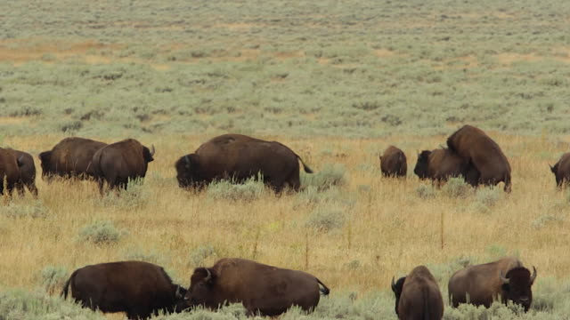 WS  shot of an american bison herd (bison bison) during the rut showing chasing, fighting and mating all in one clip