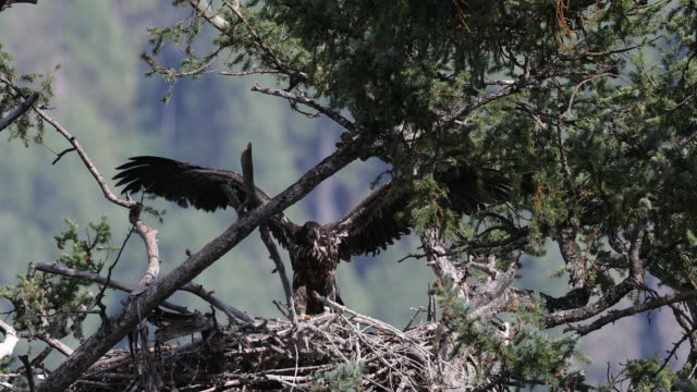 MS 4K shot of an eaglet (Haliaeetus leucocephalus) flapping in it's nest