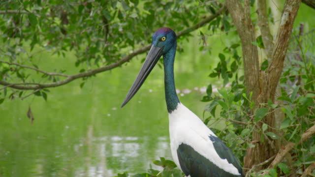 A shot of an ibis bird