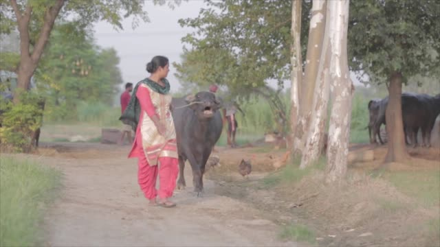 stockvideo's en b-roll-footage met shot of an indian woman leading a water buffalo through a dirt path in a rural area - vrouwtjesdier