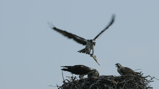 ts 4k shot of an osprey (pandion haliaetus) bringing in a fish to his 3 chicks - osprey stock videos & royalty-free footage
