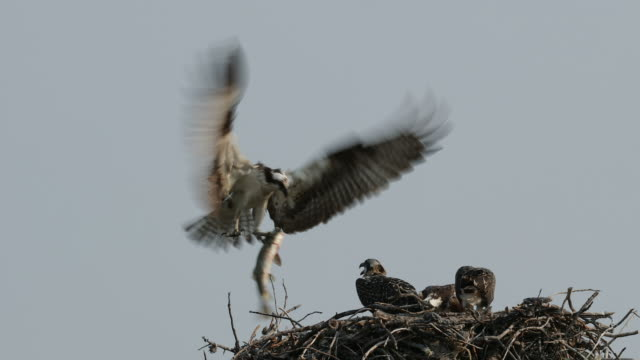 TS 4K shot of an osprey (Pandion haliaetus) bringing in a fish to his 3 chicks