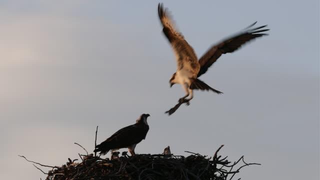 ts 4k shot of an osprey (pandion haliaetus) bringing in a fish to mom and her 3 chicks - ミサゴ点の映像素材/bロール