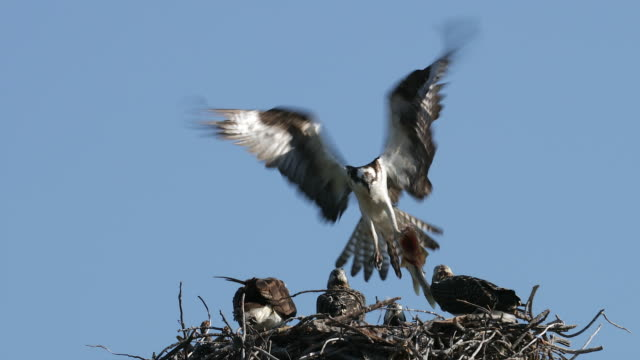 TS 4K shot of an osprey (Pandion haliaetus) bringing in a fish to mom and her 3 chicks